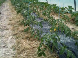 Plants de tomates sous serre