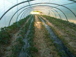 525 plants de tomates