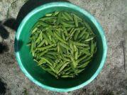 Récolte de petits pois - sceau de 6 kilos
