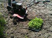 Plantation de céleri branche