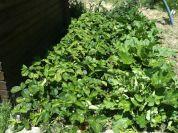 Planche de fraises