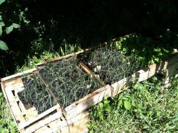 Semis de poireaux au soleil