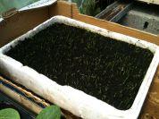 Tunnel semis - lit de semence poireaux