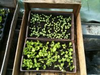 Tunnel semis - lit de semence salade