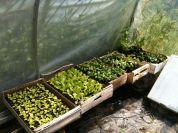 Tunnel semis - salades