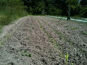Plantation fenouil et maïs