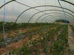 Serre tomate en plein mulch