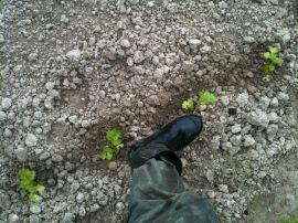 Espacement entre céleri branche