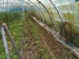 Plants de tomates et aubergines