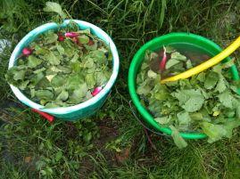 Récolte radis et nettoyage