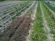 Plantation échalotes