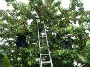 Cerisier installation d'épouvantails