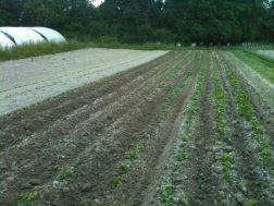 Plantation de pdt
