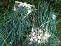 Récolte oignons blancs