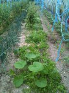 Avant désherbage pour plantation tomates