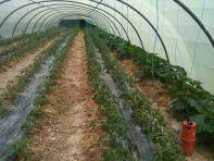 Pulvérisation tomates et courgettes
