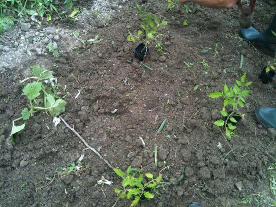 Plantation de tomates