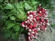 Bottes de radis