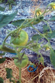 Première tomate