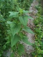 Beau plant de topinambour