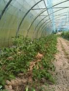 Mulch sur tomates serre route 2