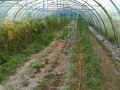 Mulch sur tomates serre route