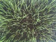 Semis de poireaux