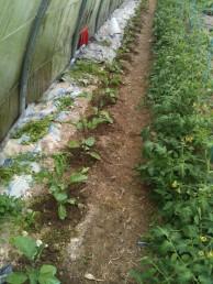 Binage des aubergines