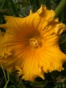 Fleur de courge