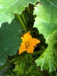 Fleur de courgette et beeezzz