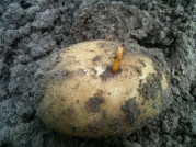 Taupin dans la patate