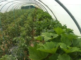 Serre tomates et courgettes - fin juin