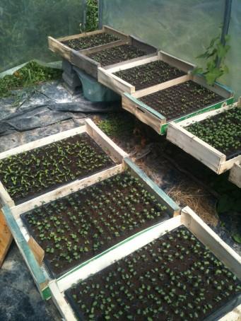 Semis sous la chaleur