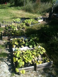 Semis à planter