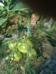 les tomates arrivent..