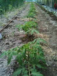 Plants de tomates serre route