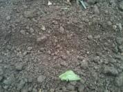 Semis directe de graines de betterave