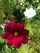 Fleurs de Cosmos pourpre & blanche