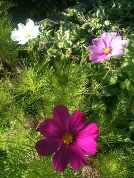 Fleurs de Cosmos purple & blanche