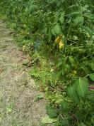 Mulch et désherbage des plants de tomates