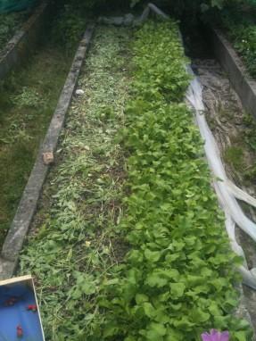 Récolte des radis dans la planche