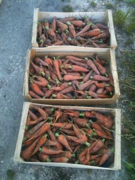 Carottes - récolte du 5 juillet - 12 kilos