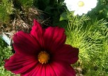 Fleurs de Cosmos pourpre et blanche