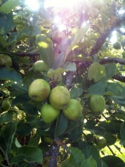Jeunes pommes
