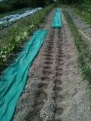 Plantation des poireaux couvert d'un voile