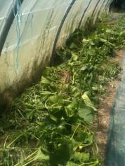 Désherbage des poivrons de serre