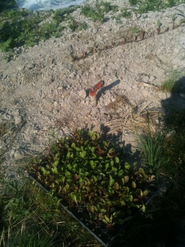 Plantation de betteraves - juillet