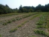Courges dans le champs du chalet