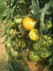 Première tomate orange :)