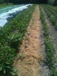 Mulch sur aubergines